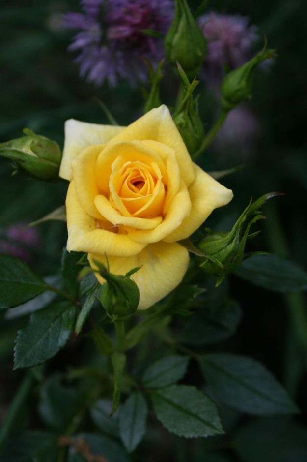rose - yellow