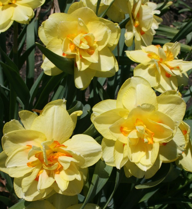 daffodils double (2)