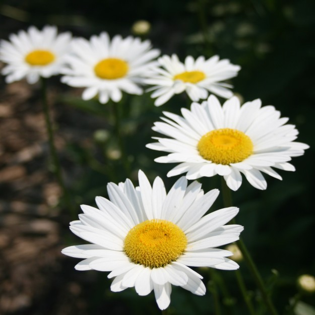 Outdoors - Flower - White